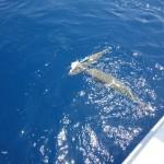 1-Burak Gülyanar  –  Balon Balığı Avı (1)
