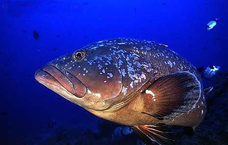 Orfoz Balığının Balık Merasındaki Önemi