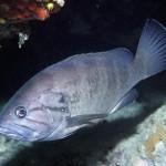 ORFOZ BALIGI - Epinephelus_caninus