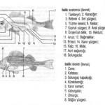 45-DENIZ VE BALIK TERIMLER SOZLUGU-balık anatomisi